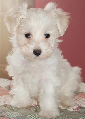 When Does Maltipoo Stop Eating Puppy Food